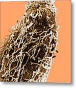 Bacteria On Sorghum Root Tip Metal Print
