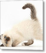 Birman-cross Kitten Metal Print