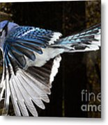 Blue Jay In Flight Metal Print