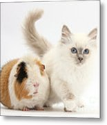 Blue-point Kitten And Guinea Pig Metal Print
