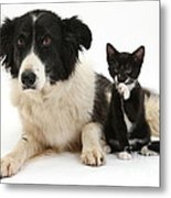 Border Collie And Tuxedo Kitten Metal Print