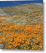 Californian Poppies (eschscholzia) Metal Print by Bob Gibbons