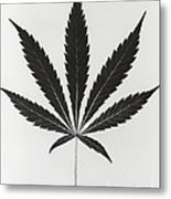 Cannabis Sativa, Marijuana Leaf Metal Print