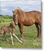 Chestnut Icelandic Horse With Newborn Foal Metal Print