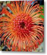 Common Pincushion Protea Metal Print