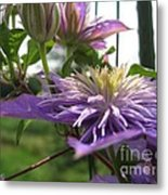 Double Clematis Named Crystal Fountain Metal Print
