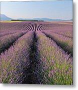English Lavender Field, Valensole, Valensole Plateau, Alpes-de-haute-provence, Provence-alpes-cote D Azur, France Metal Print