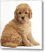Goldendoodle Puppy Metal Print