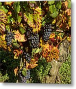 Grapes Growing On Vine Metal Print