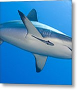 Gray Reef Shark With Remora, Papua New Metal Print