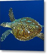 Hawksbill Sea Turtle, Kimbe Bay, Papua Metal Print