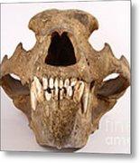 Kodiak Bear Skull Metal Print