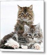 Maine Coon Kittens Metal Print