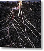 Plant Roots Metal Print