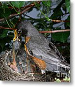 Robin Feeding Its Young Metal Print