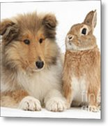 Rough Collie Pup With Rabbit Metal Print
