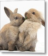 Sandy Rabbits Sharing Grass Metal Print