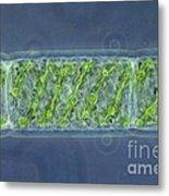 Spirogyra Sp. Algae Lm Metal Print