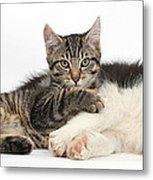 Tabby Kitten & Border Collie Metal Print