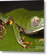 Tiger Stripe Monkey Frog Metal Print