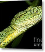 Two Striped Forest Pit Viper Metal Print