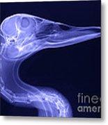 X-ray Of A Mallard Duck Head Metal Print