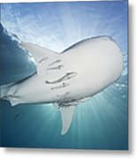 Whale Shark Feeding Under Fishing Metal Print
