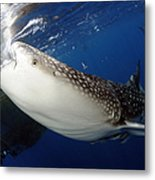 Whale Shark Feeding Under Fishing Metal Print