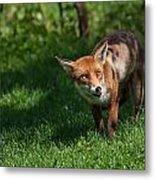 A British Red Fox Metal Print