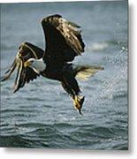 An American Bald Eagle In Flight Metal Print