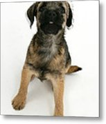 Border Terrier Puppy Metal Print