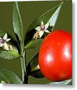 Butcher's Broom (ruscus Aculeatus) Metal Print