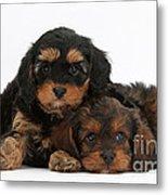 Cavapoo Pups Metal Print