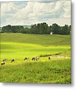 Cows Grazing On Grass In Farm Field Summer Maine Metal Print