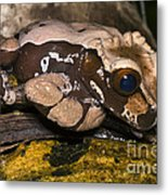 Crowned Tree Frog Metal Print