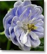 Double Columbine Named Light Blue Metal Print