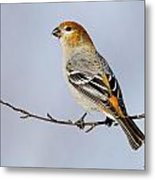 Female Pine Grosbeak Metal Print