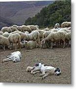 Flock Of Sheep Metal Print