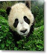 Giant Panda Ailuropoda Melanoleuca Metal Print by Katherine Feng