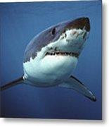Great White Shark Carcharodon Metal Print