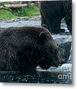Grizzly Bear Or Brown Bear Metal Print