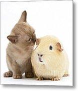 Kitten And Guinea Pig Metal Print