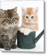 Maine Coon Kittens Metal Print