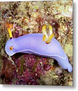 Nudibranch Feeding On Algae, Papua New Metal Print