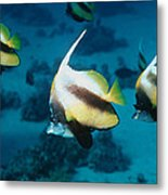 Red Sea Bannerfish Metal Print