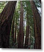 Redwoods Sequoia Sempervirens Metal Print