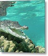 Saltwater Crocodile Crocodylus Porosus Metal Print by Mike Parry