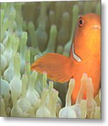 Spinecheek Anemonefish In Anemone Metal Print