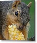 Squirrel Eating Sweet Corn Metal Print