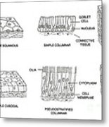 Types Of Epithelial Cells Metal Print
